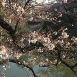 外堀の桜はまだ二分咲
